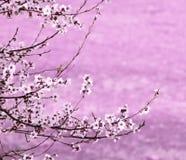 Gałęziasty Sakura Obrazy Stock