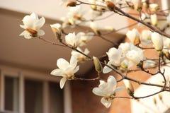 gałęziasty Sakura Obrazy Royalty Free