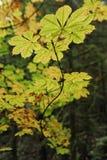 gałęziasty spadek liść sezonu drewien kolor żółty Zdjęcia Royalty Free
