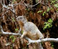 gałęziasty wiewiórczy drzewo Zdjęcie Stock