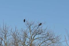 gałęziasty wron żerdzi wierzchołka drzewo Obrazy Royalty Free