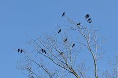 gałęziasty wron żerdzi wierzchołka drzewo Fotografia Stock