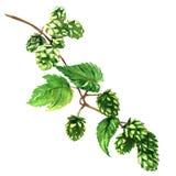Gałęziasty zielony chmiel z liść rośliną odizolowywającą, akwareli ilustracja royalty ilustracja