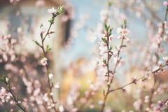 Gałęziastych kwiatów drzewny okwitnięcie Obrazy Stock