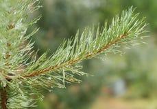 gałęziastych zbliżenia kropel zielona sosny woda Obraz Royalty Free