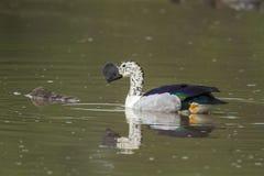Gałeczka wystawiał rachunek kaczki w Kruger parku narodowym, Południowa Afryka Zdjęcie Royalty Free