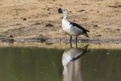 Gałeczka wystawiał rachunek kaczki w Kruger parku narodowym, Południowa Afryka Obraz Royalty Free