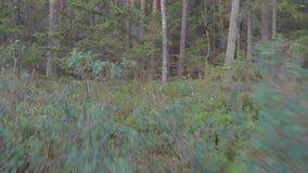 Ga als een wolf in het hout stock footage