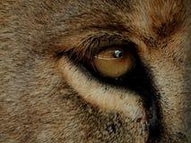 Öga av ett vuxet lejon Royaltyfri Bild
