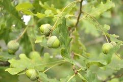 Gałąź dębowy drzewo z zielonymi acorns Fotografia Stock