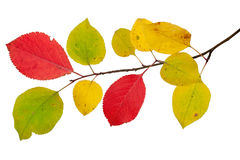Gałąź jabłoni c jesieni liście Fotografia Stock