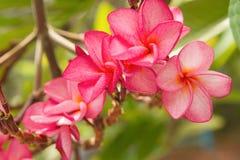 Gałąź tropikalne menchie kwitnie frangipani Zdjęcia Stock