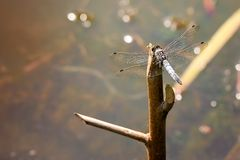 ga??ziasty dragonfly libellula ramo su obrazy stock