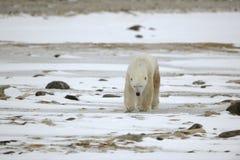 Gaande ijsbeer. stock fotografie