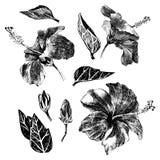Gaat de hand getrokken hibiscus weg, bloeit en ontluikt vector illustratie