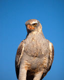 Gabar Goshawk stock photography