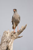 Gabar goshawk Royalty Free Stock Images