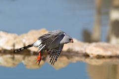 Gabar Goshawk in flight at a waterhole Royalty Free Stock Image