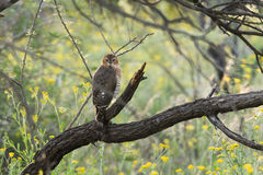 Gabar Goshawk juvenile. Juvenile Gabar Goshawk (Micronisus gabar) perched in thick woods, Namibia stock images