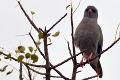Dark Chanting Goshawk (Melierax metabates)  Royalty Free Stock Image