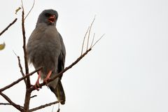 Dark Chanting Goshawk (Melierax metabates)  Stock Photography
