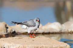 Gabar Goshawk perched on a rock at a waterhole Royalty Free Stock Images
