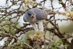 Gabar Goshawk With Small Bird. A Gabar Goshawk, with its prey of a small bird in Olare Orok Conservancy, Kenya Stock Photo