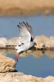 Gabar Goshawk taking flight at a waterhole Stock Images