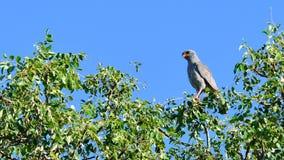 Gabar jastrzębia ptak zdobycz Fotografia Stock