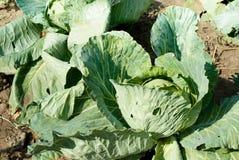 Gabbage dans le jardin Images libres de droits