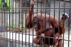 Gabbia della scimmia Immagini Stock