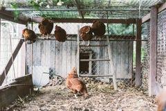 Gabbia di pollo Immagini Stock