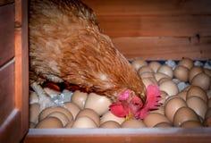 Gabbia di pollo Immagini Stock Libere da Diritti