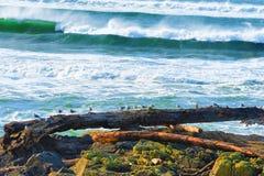 Gabbiani allineati su legname galleggiante Immagini Stock