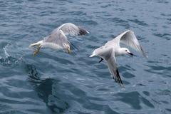 Gabbiani attivi dei gabbiani di mare sopra l'oceano blu del mare Immagini Stock