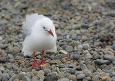 Gabbiani bianchi che camminano in spiaggia di pietra in nuovo Zeland Uccelli della Nuova Zelanda Gabbiano che cerca alimento dall fotografia stock
