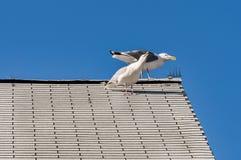 Gabbiani bianchi su un tetto Immagine Stock