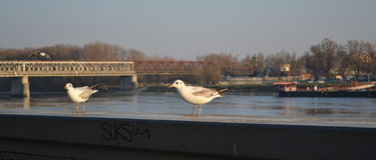 Gabbiani a Bratislava Fotografia Stock