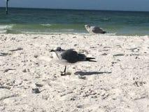 Gabbiani che assorbono alcuni raggi nella spiaggia! fotografia stock