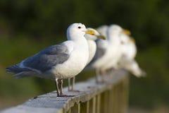 Gabbiani che attendono per ottenere alimento Immagini Stock