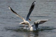 Gabbiani che atterrano sull'acqua immagine stock libera da diritti