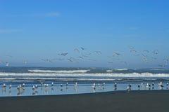 Gabbiani che catturano volo Fotografie Stock