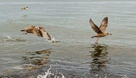 Gabbiani che catturano volo Immagine Stock Libera da Diritti