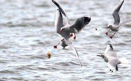 Gabbiani che combattono per l'alimento Fotografia Stock