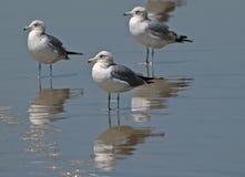 Gabbiani che si levano in piedi sulla spiaggia Fotografia Stock