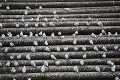 Gabbiani che si siedono sui fasci lunghi - orizzontale - escrementi animali tutt'intorno immagine stock libera da diritti
