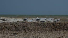 Gabbiani che si siedono sulla spiaggia di piccole conchiglie video d archivio