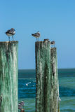 Gabbiani che si siedono sulle poste di legno dall'oceano Fotografia Stock