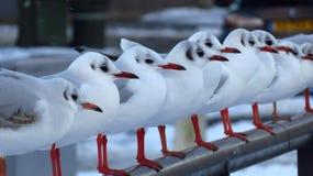 Gabbiani che si siedono in una fila su un ponte durante la bufera di neve nell'inverno Fotografie Stock