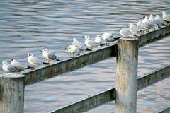 Gabbiani che si siedono in una riga Fotografia Stock Libera da Diritti